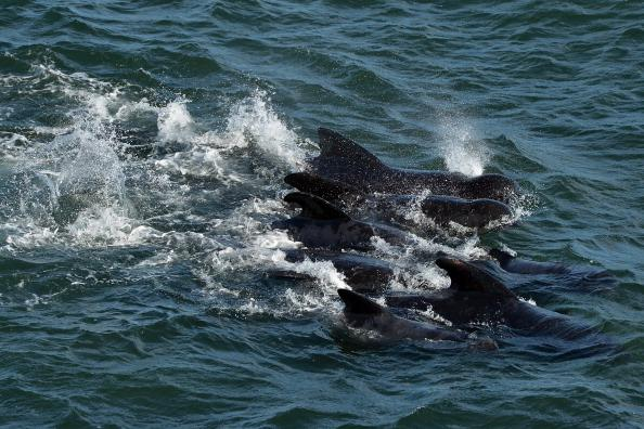 Emergency services attempt to rescue a large number of pilot whales who have beached on September 2, 2012 in Pittenweem near St Andrews, Scotland. A number of whales have died after being stranded on