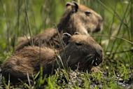 This file photo shows capybaras, world's biggest rodents. They occasionally can top 100 kilos (220 pounds). Though not endangered, capybaras are not supposed to be hunted at this time of the year so as not to interfere with their reproductive season