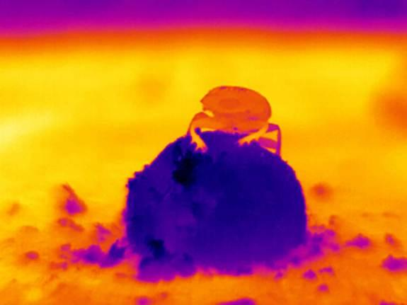 A thermal image of a dung beetle moving across the hot, sandy ground.