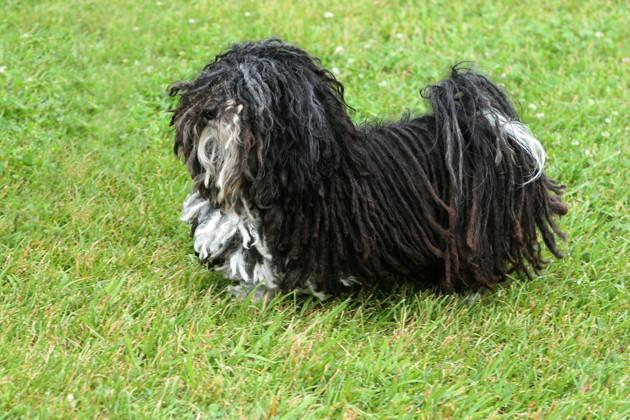 Havanese — Affectionate and Adaptable