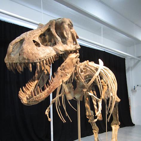 Just as this dinosaur specimen, a relative of Tyrannosaurus rex, went up for auction on May 20, a question arose as to whether or not it was taken illegally from Mongolia.