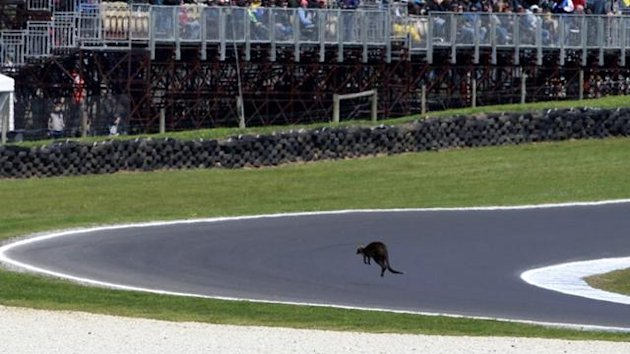 A wallaby jumps onto the racetrack before the qualifying session of the Australian Grand Prix in Phillip Island