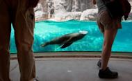 "A sea lion swims by at the Smithsonian National Zoo in Washington, DC in August 2012. Scientists in California have shed light on a marine mystery: how diving mammals can hunt for food at great depths without getting the ""bends,"" according to a new study"