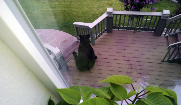 FILE - In this Aug. 27, 2015, file photo, provided by the Arvada Police Department, a female black bear sits on a porch in a residential area of Arvada, Colo. The bear was later tranquilized and remov