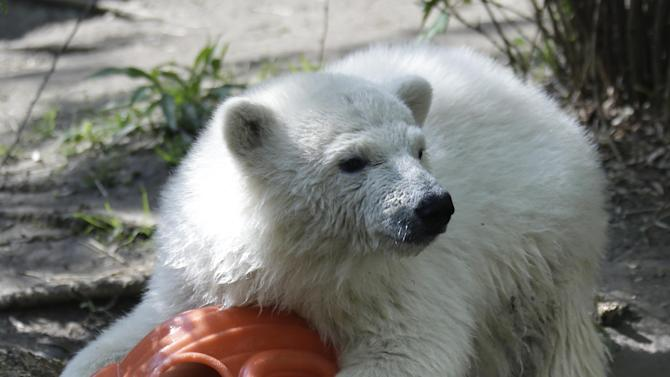 Luna, a resident polar bear cub, plays with a toy during a news conference at the Buffalo Zoo in Buffalo, N.Y., Wednesday, May 15, 2013. Luna will be the playmate for Kali, an orphaned polar bear cub from Alaska, until a permanent home is located. (AP Photo/David Duprey)