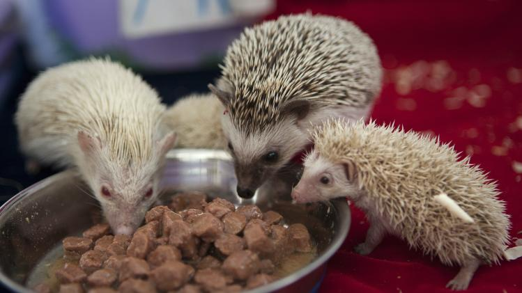 Parent hedgehogs Maria, left, and Gosha, 2nd right, eat with their albino babies in a private zoo in Moscow, Russia, Thursday, Aug. 22, 2013. Three rare albino hedgehog babies, born on the same day as Britain's new prince, have moved into a miniature castle at a Moscow petting zoo. The three are named after the Prince of Cambridge — George, Alexander and Louis. On Thursday, when they turned one month old, they were shown their new home at the All-Russia Exhibition Center. (AP Photo/Alexander Zemlianichenko Jr)