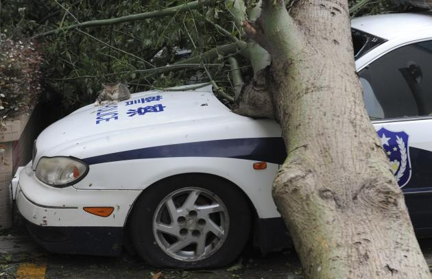 A cat lies on a police car which is damaged by a fallen tree after Typhoon Usagi hit Shanwei, Guangdong province
