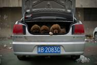 Tibetan mastiff puppies are displayed for sale at a mastiff show in Baoding, Hebei province, south of Beijing on March 9, 2013. Tibetan Mastiffs have become a prized status-symbol among China's wealthy, with rich buyers across the country sending prices skyrocketing