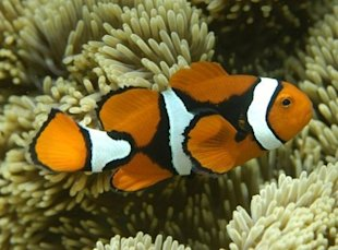 Clown fish and others could become extinct