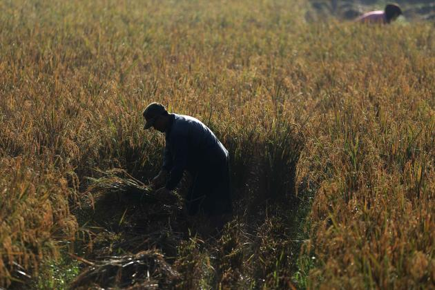 A worker harvests a bundle of paddy at Sukatani village, on the outskirts of Jakarta