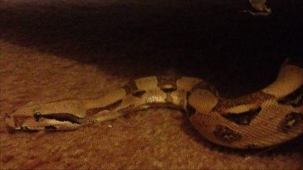 Michigan Woman Finds Python in Secondhand Couch