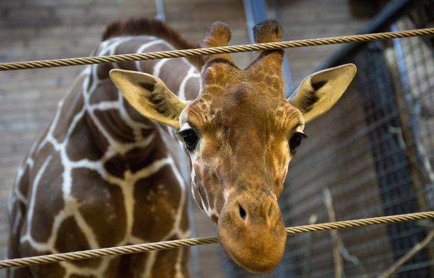Marius the giraffe is pictured in Copenhagen Zoo February 7, 2014. More than 25,000 people signed a petition to save the animal - but Copenhagen Zoo went ahead and killed the animal. (Reuters)