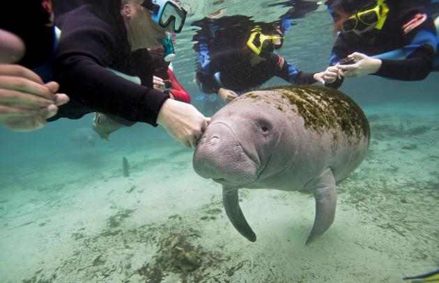 Snorkelers interact with a Florida Manatee inside of the Three Sisters Springs in Crystal River, Florida