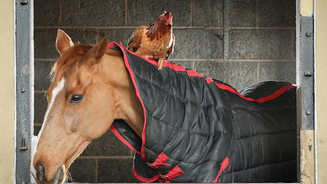 A Horse And Chicken Have Struck Up A friendship