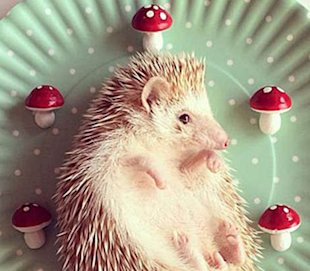 Darcy the hedgehog