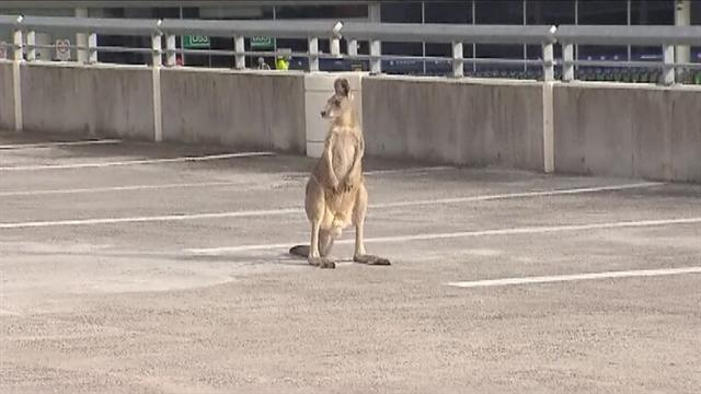 Police chase kangaroo in airport parking lot