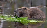 Beaver Bites Man To Death In Belarus Attack