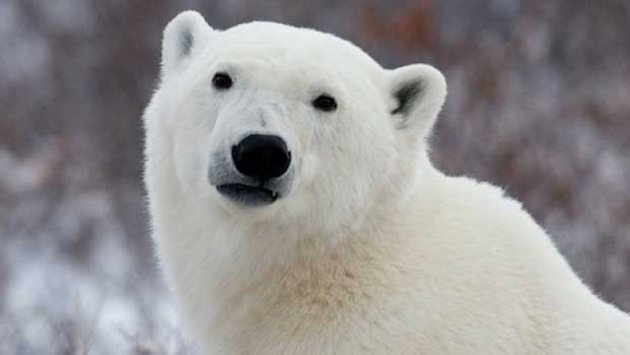 'Big shaggy dog' spotted on Fogo Island turns out to be polar bear
