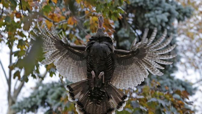 A wild turkey flies up to it's evening roost, a tree in the front yard of Mary Jane Froese's parents, on Staten Island, Monday, Nov. 11, 2013, in New York. The turkey belongs to a population of roving turkeys that has become a mess-making, traffic-stopping scourge to some residents, an unexpected bit of makeshift nature to others and a fraught project for government officials. Since dozens of the turkeys were rounded up and killed this summer, the birds' future has become as a topic as heated as a Thanksgiving meat thermometer. (AP Photo/Kathy Willens)