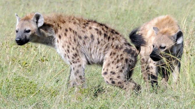 Hyena Identity Linked to Odor Molecules Made by Bacteria