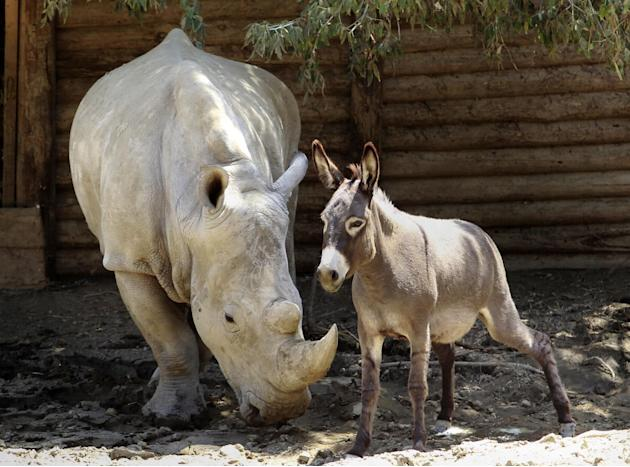 In this photo taken Wednesday, July 1, 2015, a rhinoceros and a donkey are enclosed in a shelter at the Tbilisi Zoo, Georgia. Tbilisi Zoo was hit last moth by a devastating flood, half of its animals