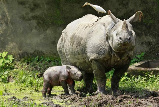 A one-horned rhino named Baghekhaity stands next to its 10-day-old calf at a zoo in Guwahati