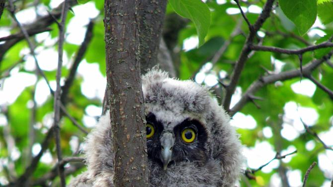 """This undated image provided by Explore.org shows a long-eared owl chick perched in a Montana willow tree. Explore.org's """"Pearls of the Planet"""" Internet initiative has plans to mount an infrared camera on top of a pole in willow thickets on Montana rangeland to study long-eared owl nests. (AP Photo/Explore.org, Christina Nealson)"""