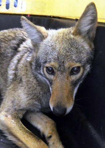 In this photo provided by the New York City Police Department's Special Operations Division, a female coyote lay in an animal carrier after being captured by Special Operations officers on Manhattan's