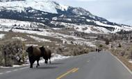 Yellowstone Bison Spark Volcano Eruption Fears