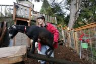 In this Monday, Nov. 28, 2011 photo, Jennie Grant encourages Eloise up a ramp in the backyard of her home in Seattle. No stranger to urban farming, Grant already had chickens, bees, and a large vegetable garden before she added goats to her lineup. After doing some research, she cleared a 20-by- 20-foot patch of her yard, fenced it in, and added a shed, feeding stations, and the goat equivalent of a jungle gym. (AP Photo/Elaine Thompson)