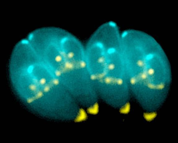 The mind-altering parasite called Toxoplasma gondii has a unique apparatus that is likely used to invade host cells and for its own replication. Shown here, the parasite is building daughter scaffolds within the mother cell.