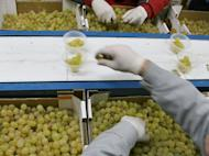 Vinalopo grapes being prepared at a vineyard in Novelda, eastern Spain for consumption on New Year's Eve. Spaniards gobble a dozen grapes before the stroke of midnight on New Year's Eve, each fruit representing a month that will either be sweet or sour