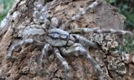 Tarantula The Size Of A Human Face Discovered