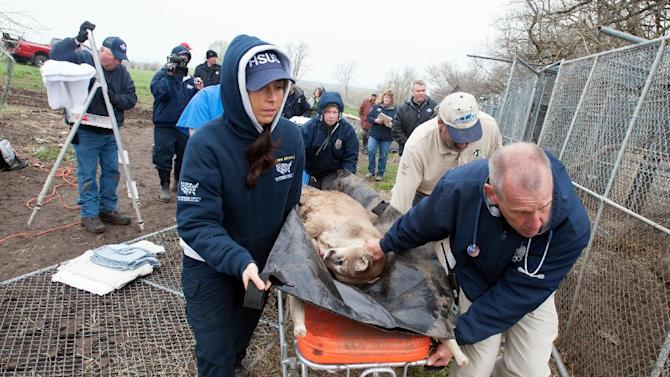 In this May 5, 2013, photo provided by the Humane Society of the United States staff members of the HSUS and the Kansas City Zoo move a sedated mountain lion from a menagerie of wild cats in Atchison, Kan. Authorities said one tiger, two cougars, three bobcats, two lynx, one serval and two skunks, living in inadequate enclosures and were infrequently fed, were seized and a man is in custody. (AP Photo/HSUS, Kathy Milani)