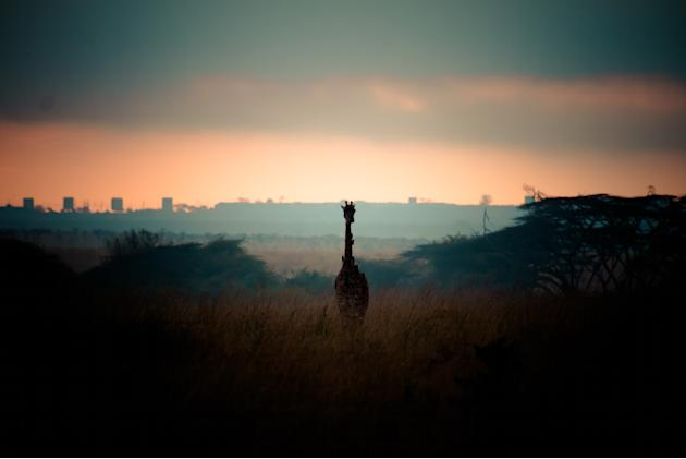 Environment: 'Protection': A lone giraffe is captured by an entrant of the youth category (Michael Willie, Australia, 2013 Sony World Photography Awards)