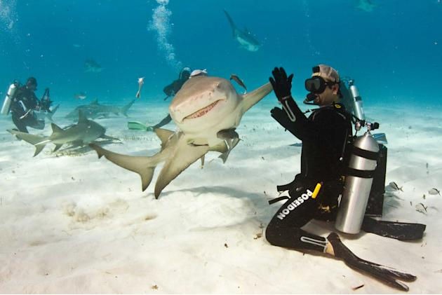 A diver coaxes a high five out of a maneating shark. Eli Martinez, 40, was interacting with the apparently laid-back lemon shark in the balmy waters off the coast of The Bahamas. The normally ferociou