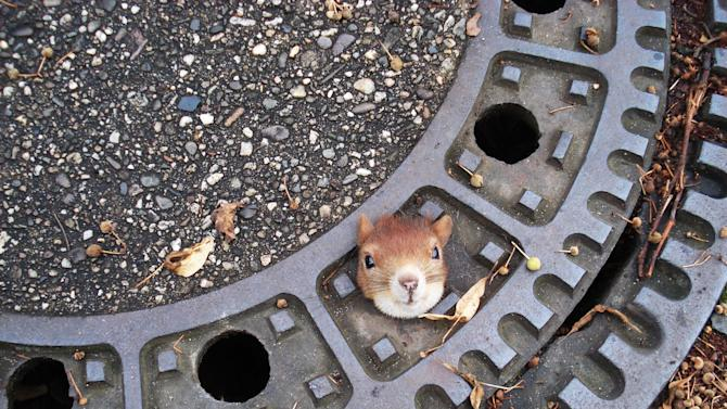 In this photo taken Aug. 5, 2012 and publicly provided by the police department Hanover, Germany , on Aug. 6, 2012,  a squirrel is trapped in a manhole cover  in Isenhagen, northern Germany. After they  were called by neighbours, police managed to free the animal by using olive oil.  (AP Photo/Police Hanover) - NO ARCHIVE - MANDATORY CREDIT -