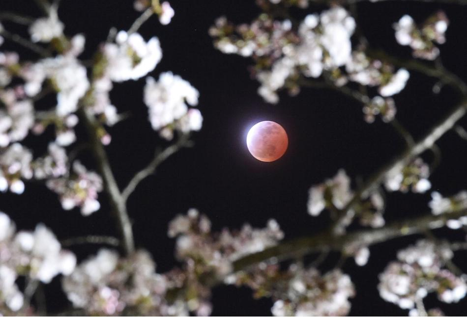 A total lunar eclipse is seen between cherry blossoms in Shiraishi, Miyagi prefecture