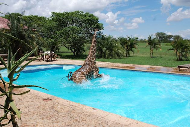 This cheeky giraffe likes to take a dip in a swimming pool in Tanzania to cool off from the hot weather. Workers at the Kilimanjaro Golf and Wildlife Estate said the giraffe thinks he's a cross be