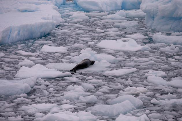 In this Jan. 22, 2015 photo, a leopard seal rests on a piece of floating ice near the Chilean station Bernardo O'Higgins, Antarctica. Deep below the ice, far from the animals that bring tourists t