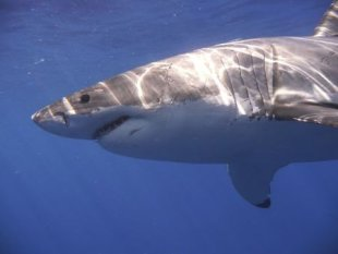 A Great White shark is pictured in the Eastern North Pacific in this undated handout photograph courtesy of Kevin Weng, University of Hawaii. REUTERS/Kevin Weng, University of Hawaii/Handout via Reuters