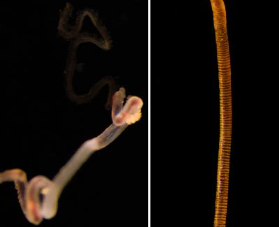 Newly Discovered 'Methane Seep' Hosts Strange Creatures