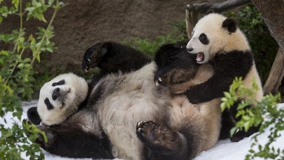 San Diego Pandas Get a Snow Day