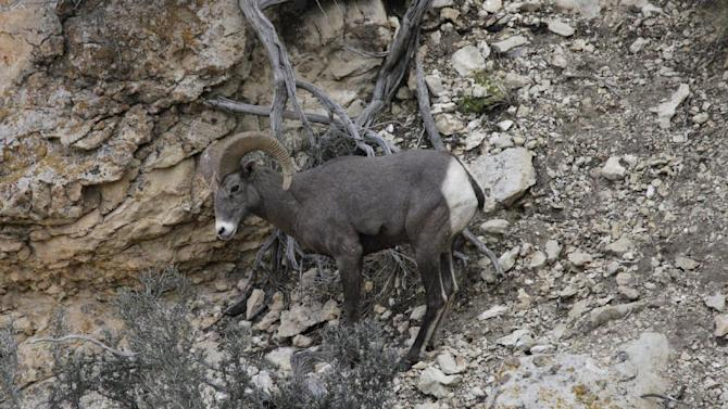 This Monday Oct. 22, 2012, photo shows a long horn sheep near the Bright Angel Trail on the South Rim of the Grand Canyon National Park in Arizona. Search engine giant Google is using the Trekker, a nearly 40-pound, backpack-sized camera unit, to showcase the Grand Canyon's most popular hiking trails on the South Rim and other off-road sites. It's about 4 feet in height when set on the ground, and when worn, the camera system extends 2 feet above the operator's shoulders.  (AP Photo/Rick Bowmer)