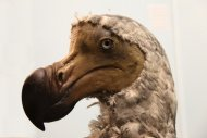 Bird Extinctions on the Rise