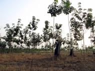 This file photo shows newly planted rubber trees at a plantation in the province of Bolikhamxay, in 2007. Laos will not allow any new investments in mining or grant further land concessions for rubber plantations until 2015 at the earliest due to concerns about land encroachment, state media said on Tuesday