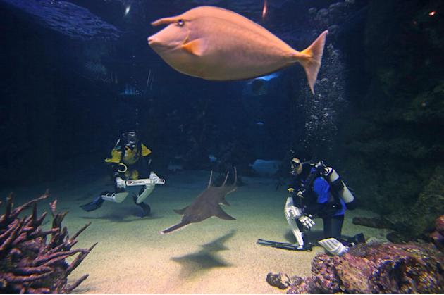 A sawfish, center bottom, and a unicorn fish, top, swim between Sydney Aquarium divers Alicia Lloyd, left, and Amanda Elzer as they play a mock game of cricket surrounded by sharks and other exotic fi