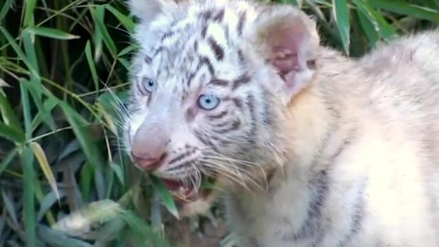 Argentine zoo shows off adorable white tiger cubs