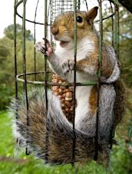 This sneaky squirrel was caught going nuts behind bars (SWNS)