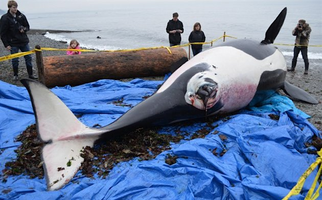 People look at a dead orca as it lay on a Vancouver Island boat launch in this handout image. (CP)
